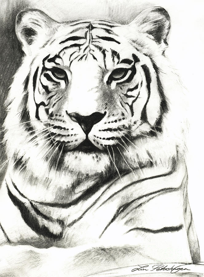 White Tiger Portrait Drawing by Lin Petershagen