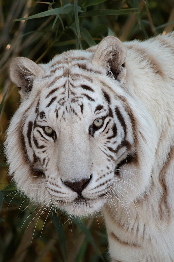 Animal Photograph - White Tiger Portrait by Teresa Wilson