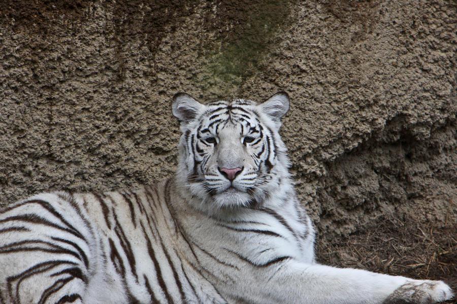 White Photograph - White Tiger Resting by Douglas Barnett