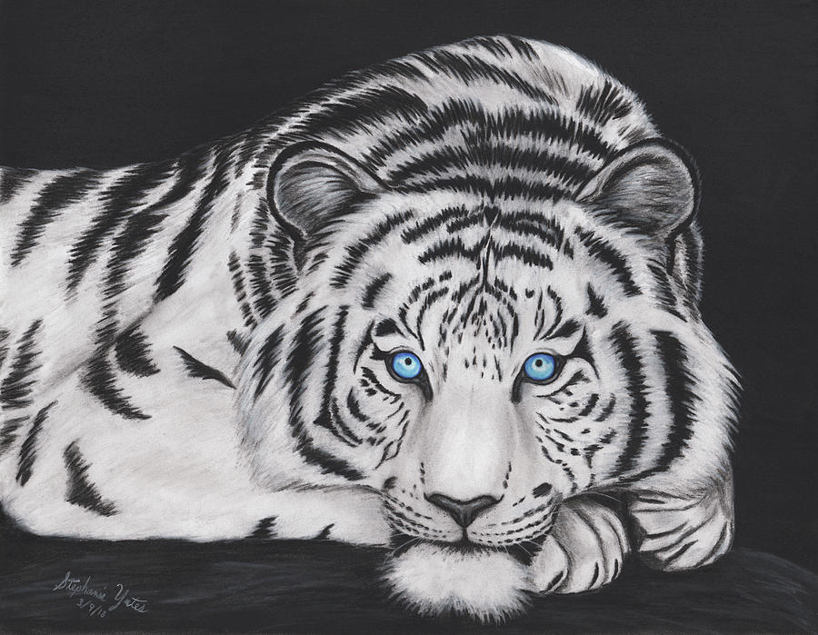 White Tiger Drawing by Stephanie Yates