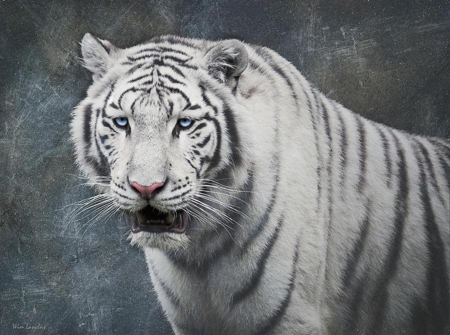 White Tiger Photograph by Wim Lanclus