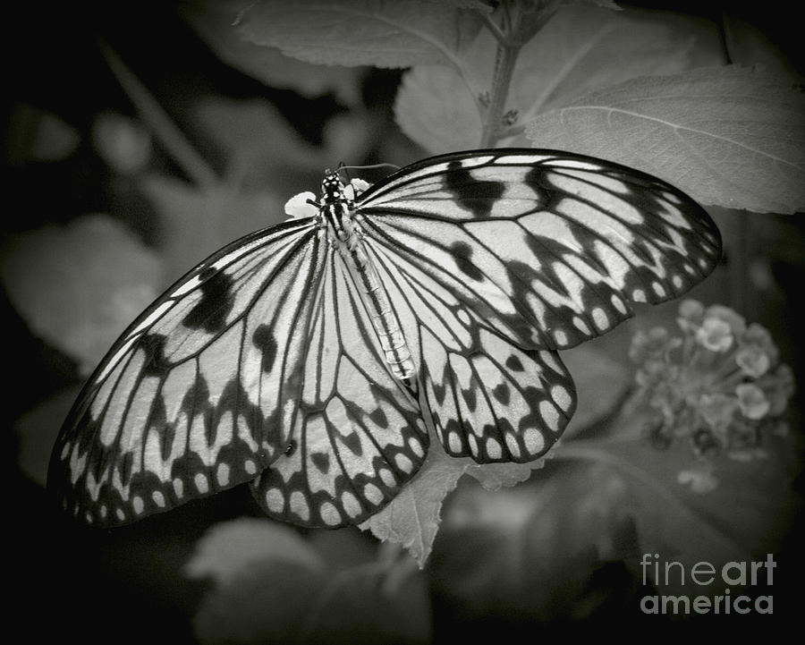 Butterfly Photograph - White Tree Nymph - 6 by Dorothy Hilde