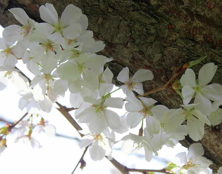 Dogwood Branch by Melinda Blackman