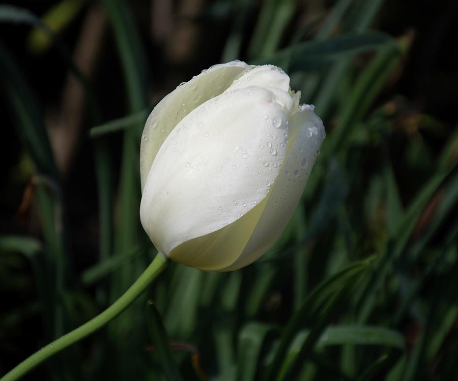Tulips Photograph - White Tulip by Angie Tirado