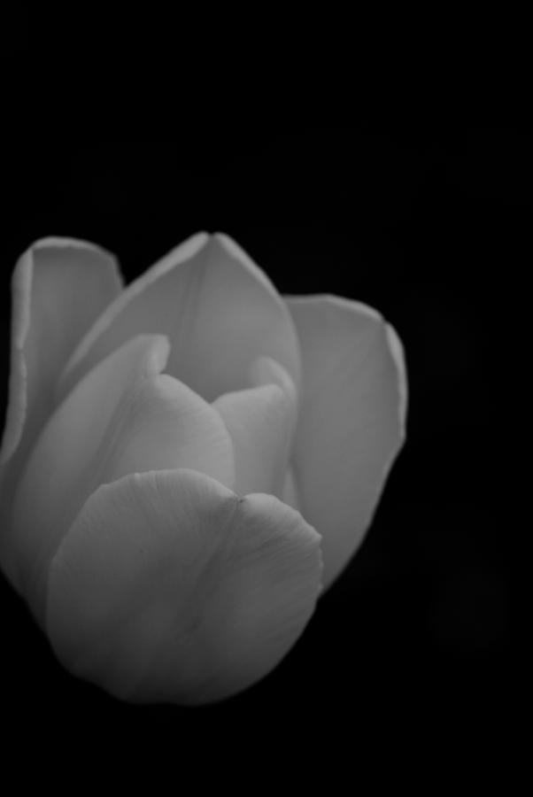 Tulip Photograph - White Tulip In Black And White  by Michelle  BarlondSmith