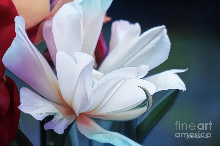 Digital Photograph - White Tulip by Jutta Maria Pusl