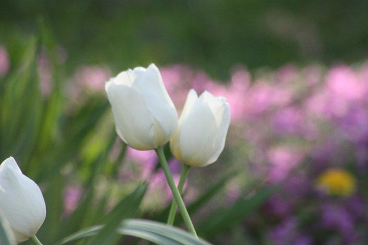 Tulips Photograph - White Tulips by Angie  Wise