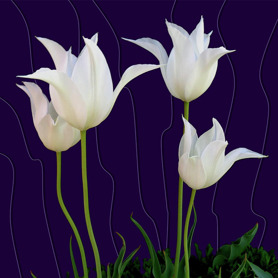 Tulips Photograph - White Tulips For A New Age by Tara Hutton