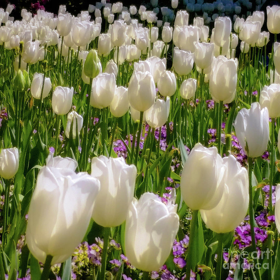 Tulips Photograph - White Tulips In Bloom by D Davila