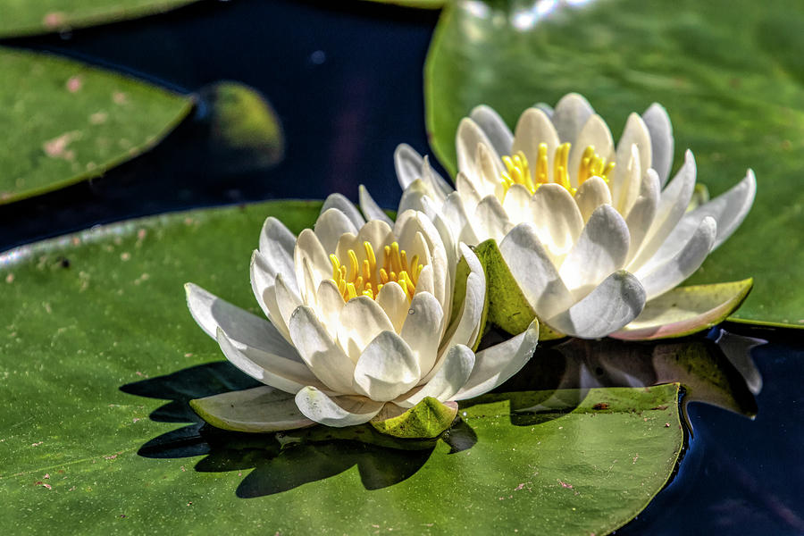 White Water Lilies by Betty Pauwels