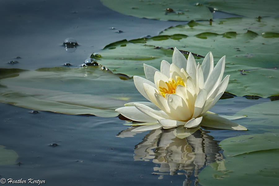 White Water Lily Photograph - White Water Lily by Heather Kertzer