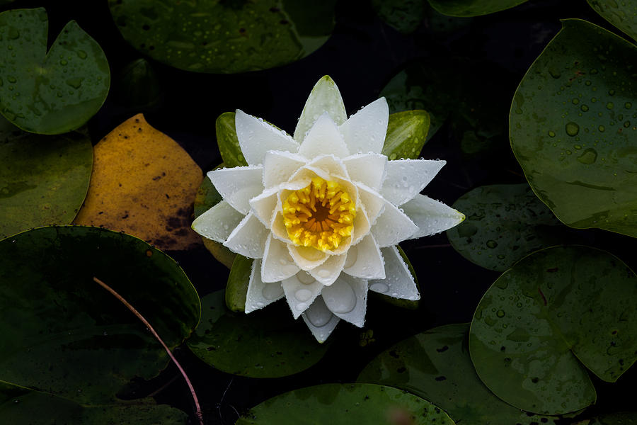 White Water-lily Photograph