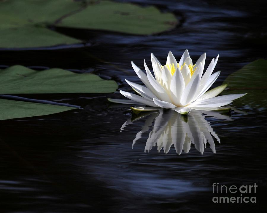 Water Lily Photograph - White Water Lily by Sabrina L Ryan