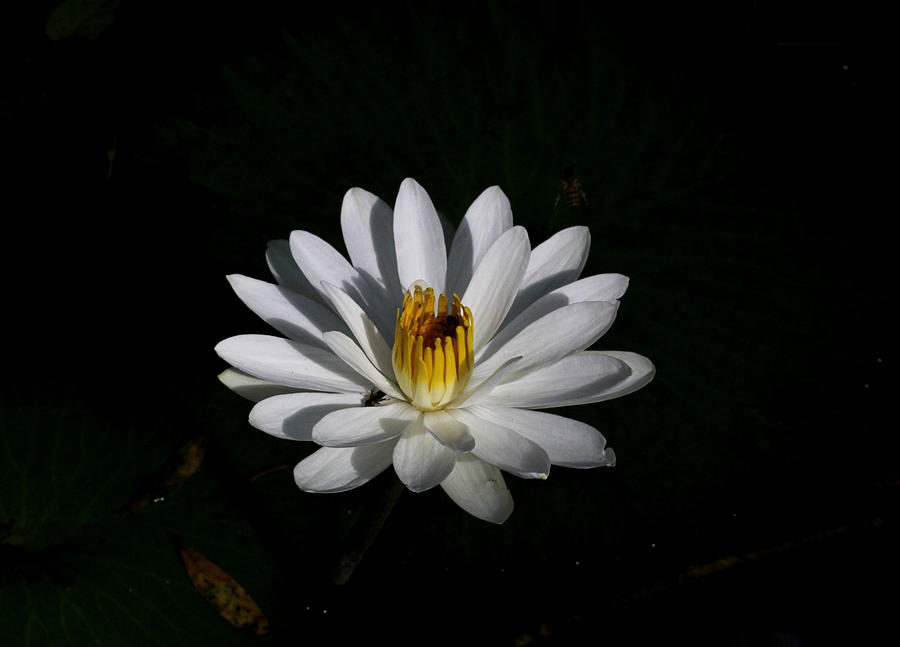 Flower Photograph - White Waterlily by April Wietrecki Green