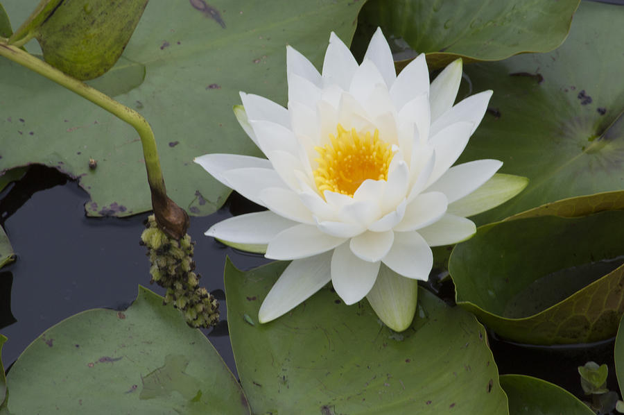 Waterlily Photograph - White Waterlily by Linda Geiger