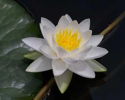 White Flower Photograph - White Waterlily by Suzette Eichenberg