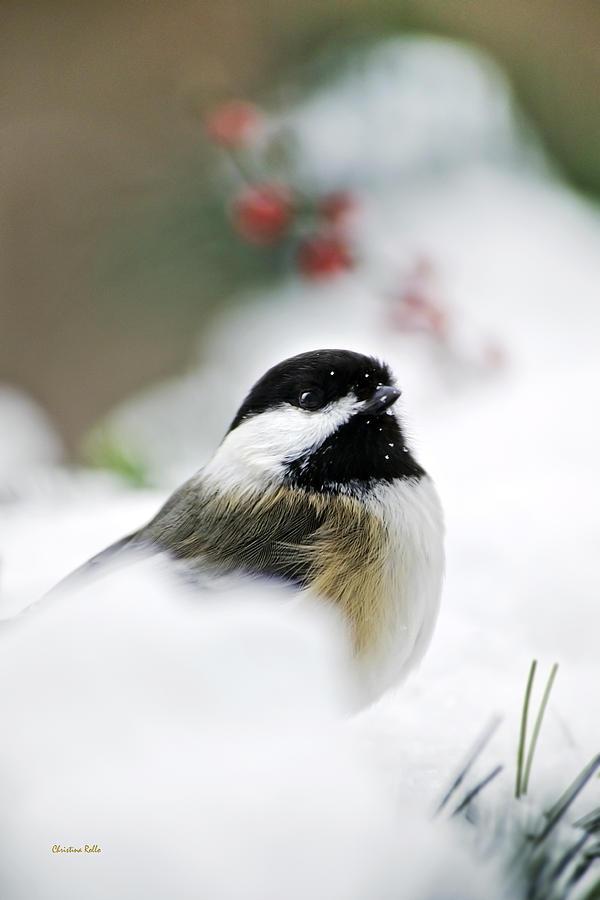 Bird Photograph - White Winter Chickadee by Christina Rollo