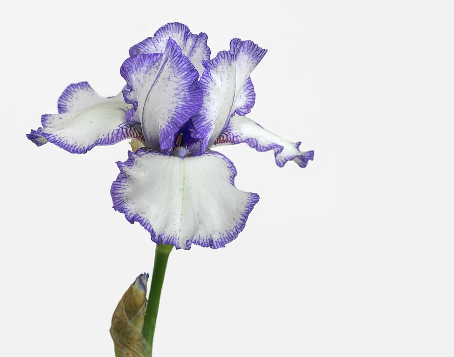 Bearded Iris Photograph - White With Purple Trim Bearded Iris  by David and Carol Kelly