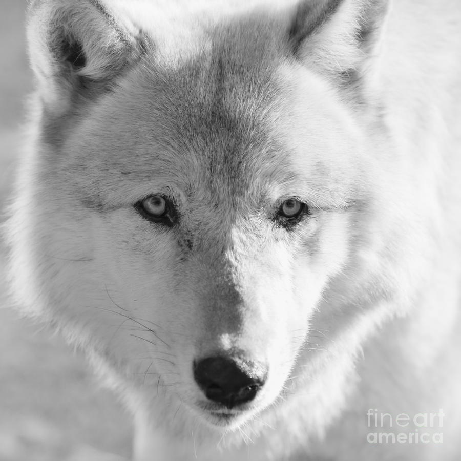 Wolf Photograph - White Wolf by Ana V Ramirez