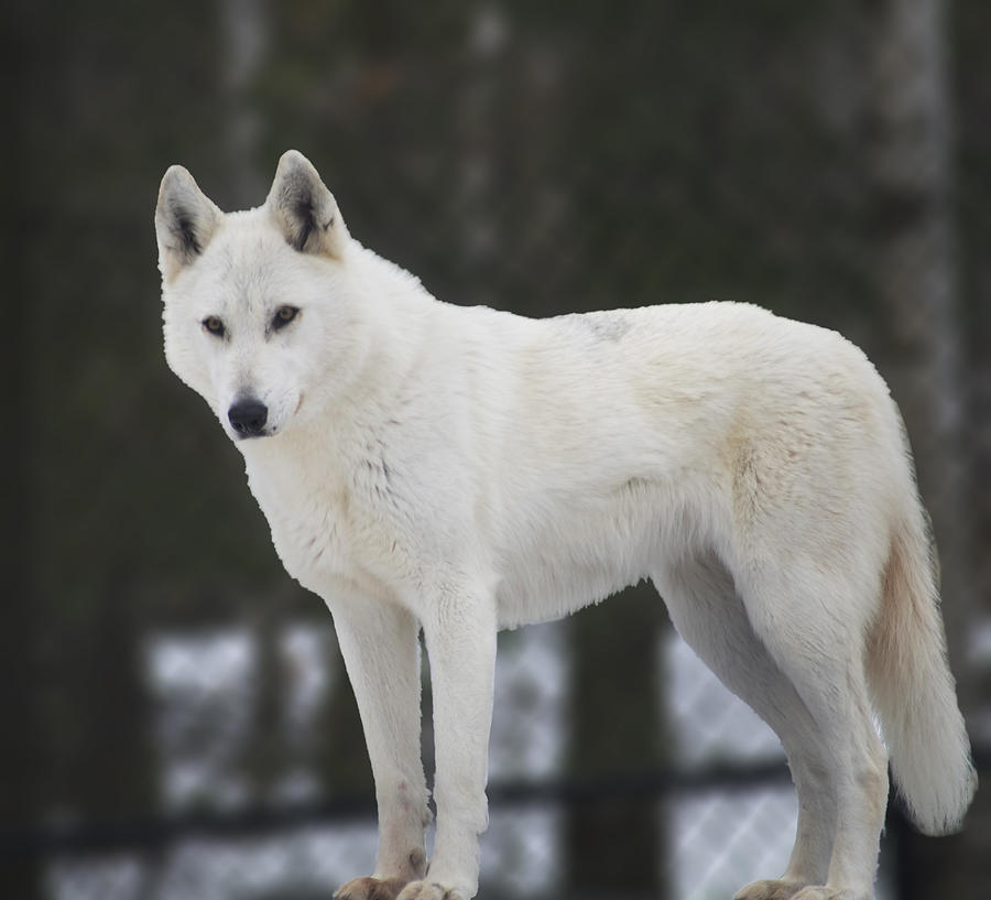 White Wolf Photograph By Elaine Mikkelstrup
