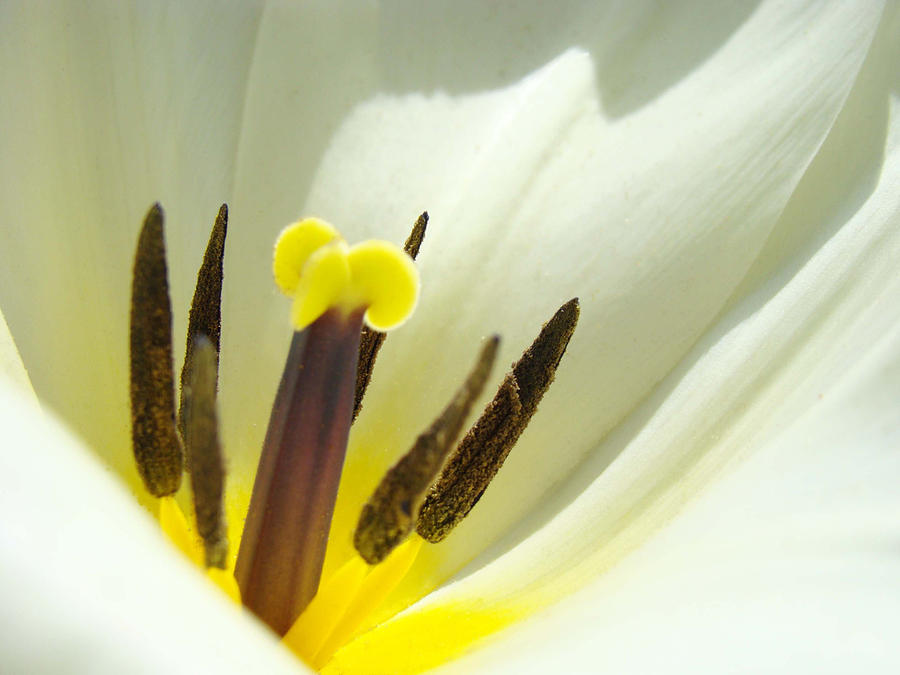 Tulip Photograph - White Yellow Tulip Flower Fine Art Prints by Baslee Troutman