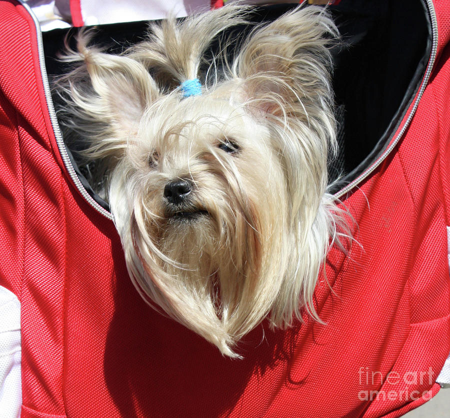 White Yorkshire terrier in a bag by Irina Afonskaya