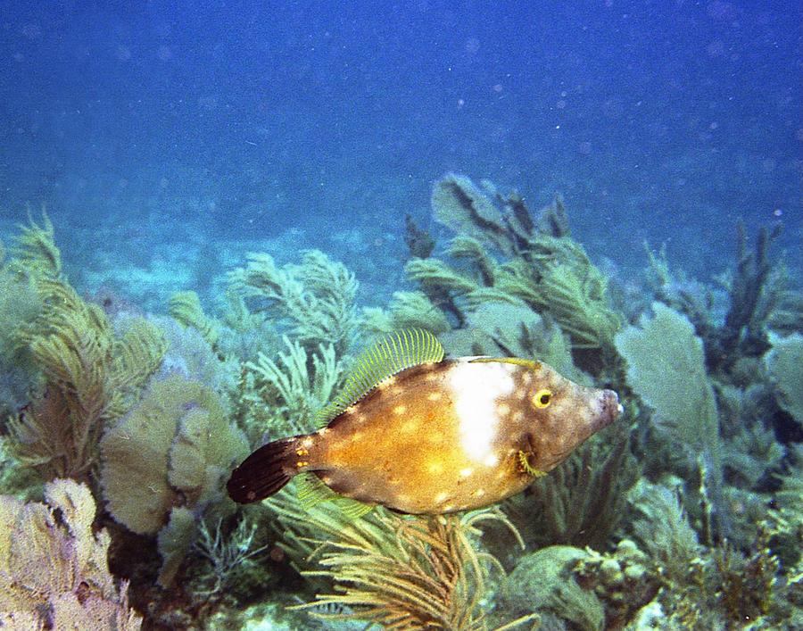 Fish Photograph - Whitespotted Filefish by Steve Carpenter