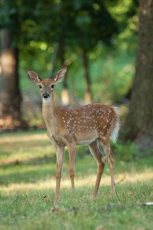 Animal Photograph - Whitetail Deer Fawn by Erin Cadigan