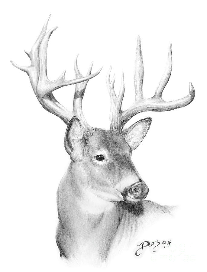 whitetail deer drawing by larry dez dismang