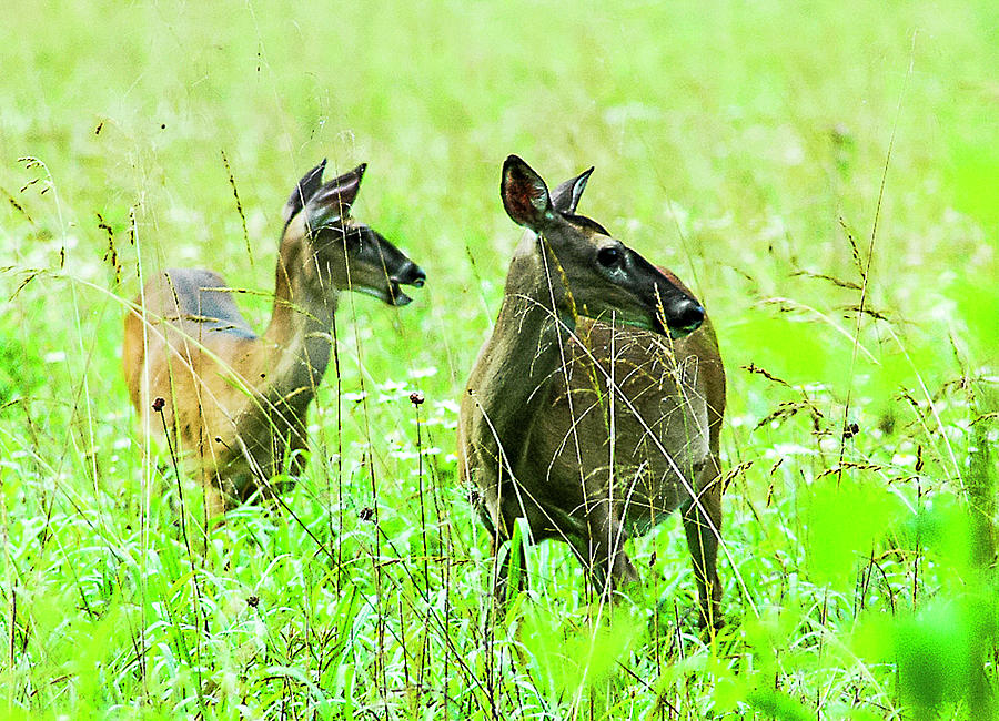 White-tailed Deer Photograph - Whitetail Does by Norman Johnson