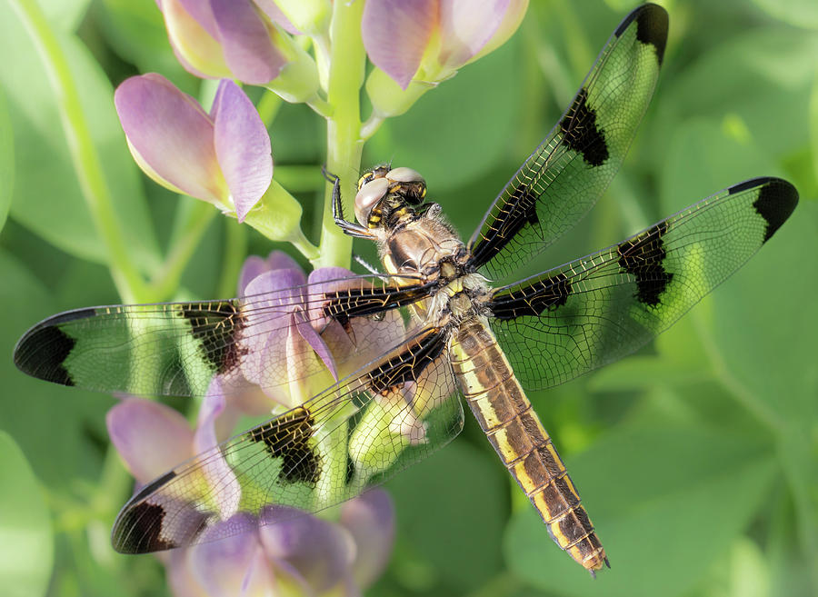 Baptisia Australis Photograph - Whitetail Dragonfly On False Indigo by Jim Hughes