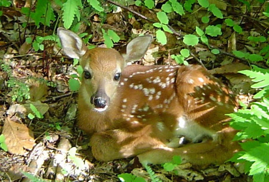Fawn Photograph - Whitetail Fawn II by James Berger
