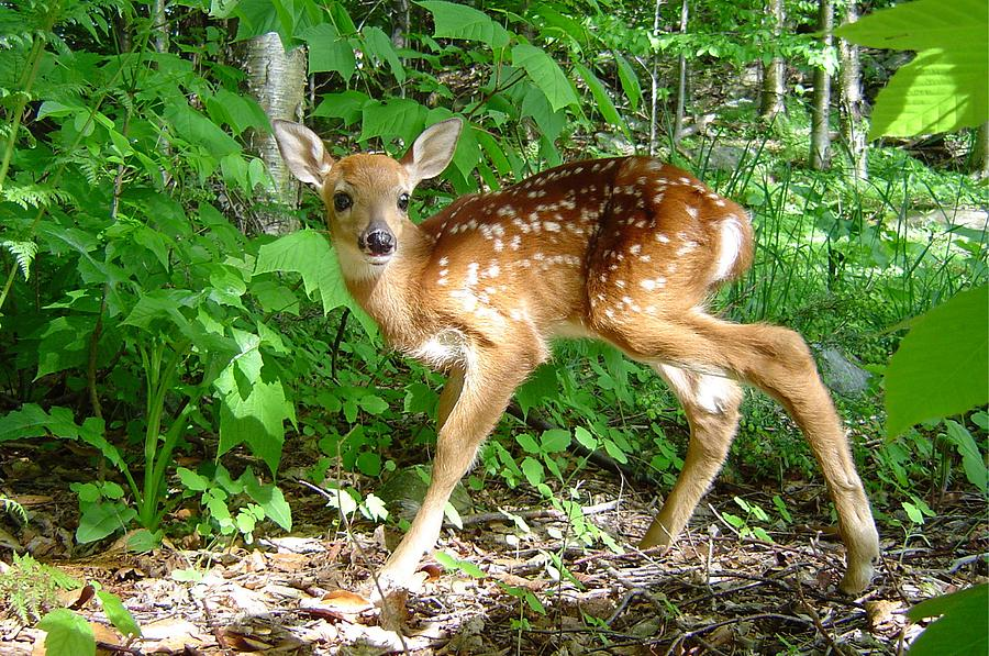 Whitetail Photograph - Whitetail Fawn by James Berger