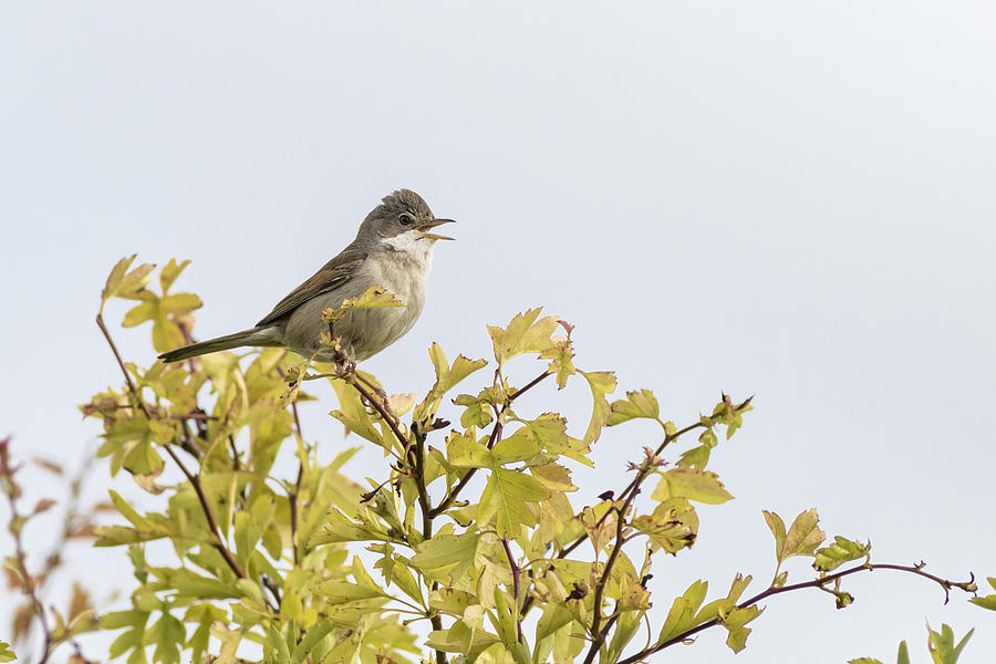 Whitethroat Photograph