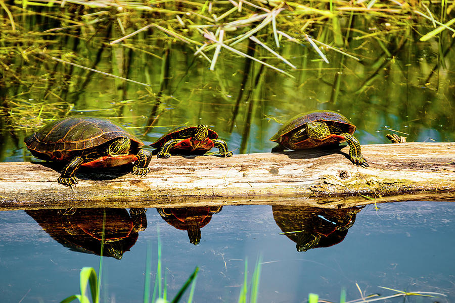 Painted Turtles Photograph - Who Called This Meeting by Albert Seger