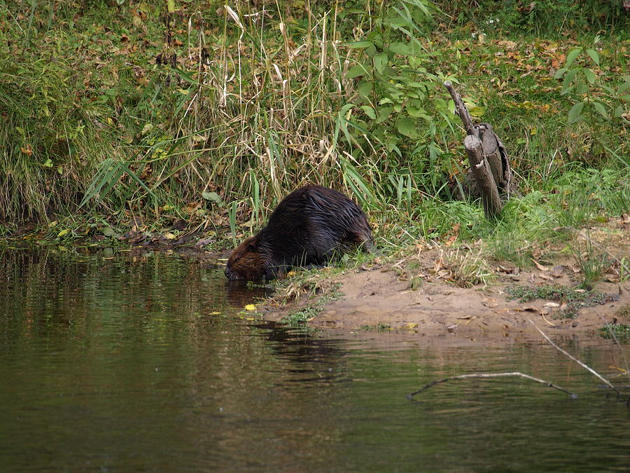 Beaver Photograph - Whodda Thought by Helene Keehne