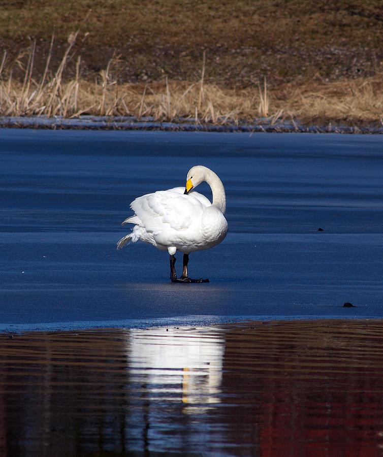 Whooper Swan 2 Photograph