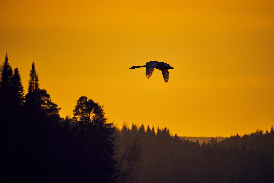 Whooper Swan Sunset Photograph
