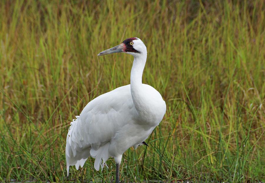Whooping Crane by Sandy Keeton