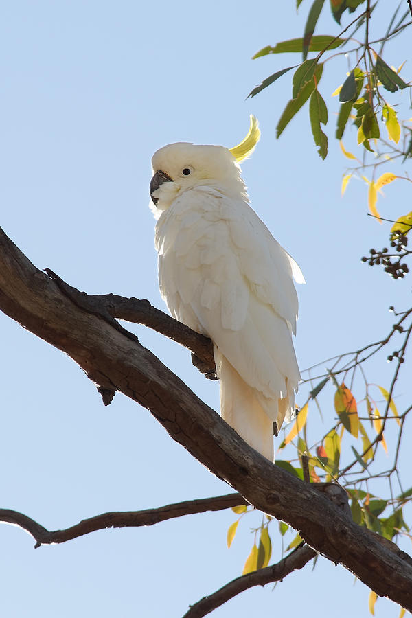 Who's That Cockatoo? -- Sulfur Crested Cockatoo in New South Wales, Australia by Darin Volpe