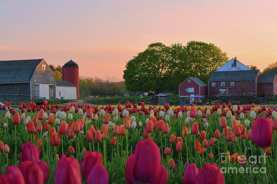 Wicked Awesome Tulips by Tammie Miller