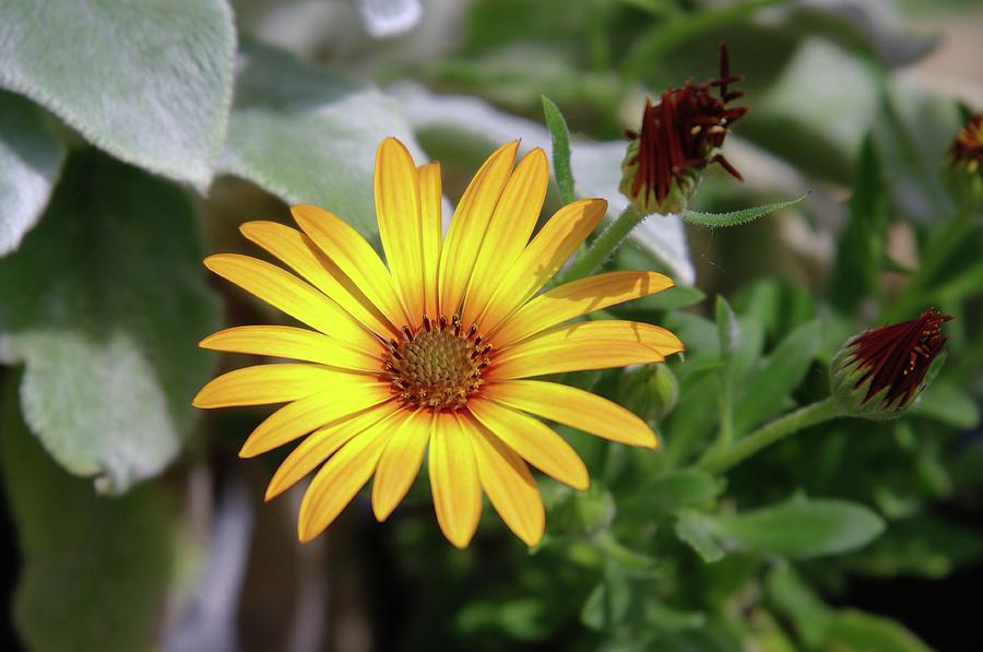 Flowers Photograph - Wide Open In Bloom  by Jeff Swan