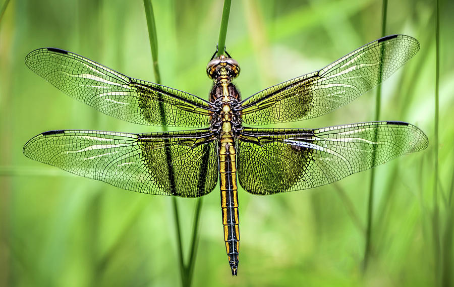 Widow Skimmer Dragonfly by Wes Iversen