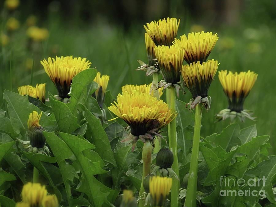 Dandelion Photograph - Wild And Beautiful by Kim Tran