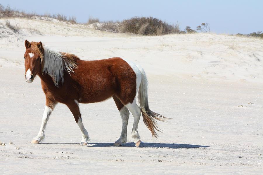 Wild Stallion Photograph - Wild Assateague Ponies 2 by Captain Debbie Ritter