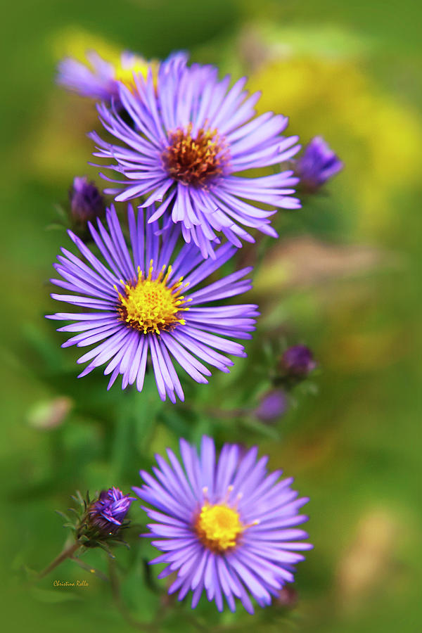 Wildflower Photograph - Wild Aster Trio by Christina Rollo