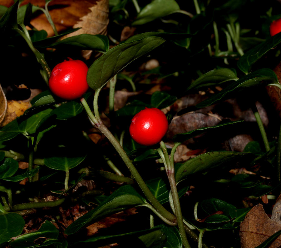 Wild Berries by Robert Morin
