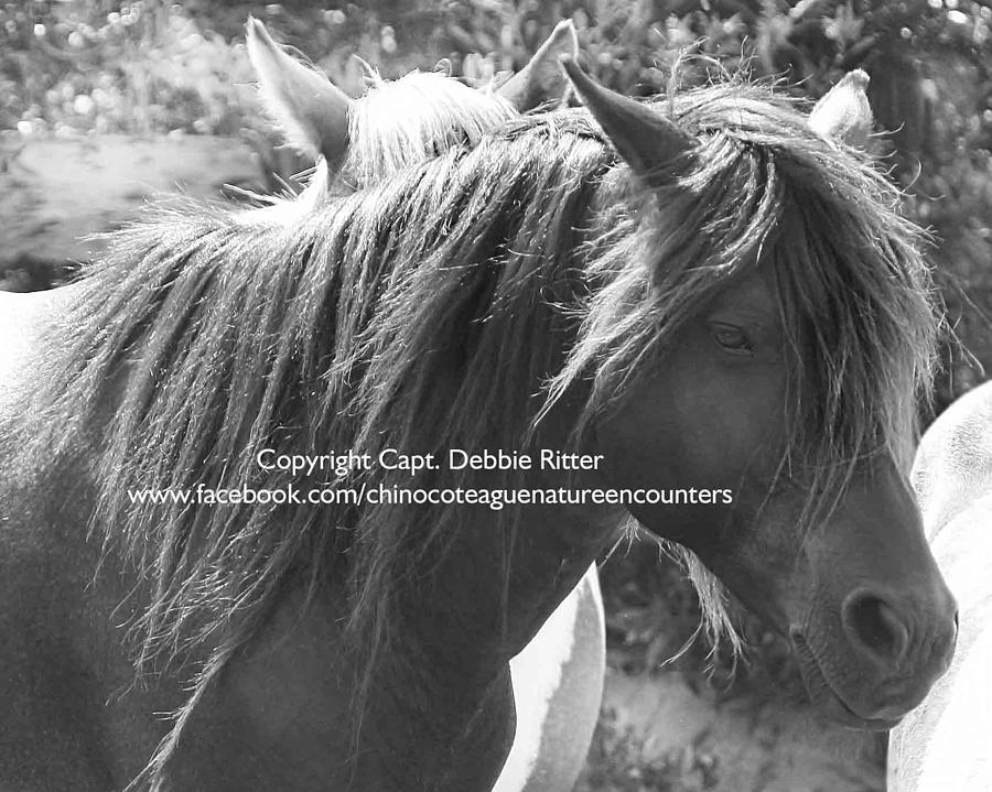 Wild Horse Photograph - Wild Black Stallion Ace 3 by Captain Debbie Ritter