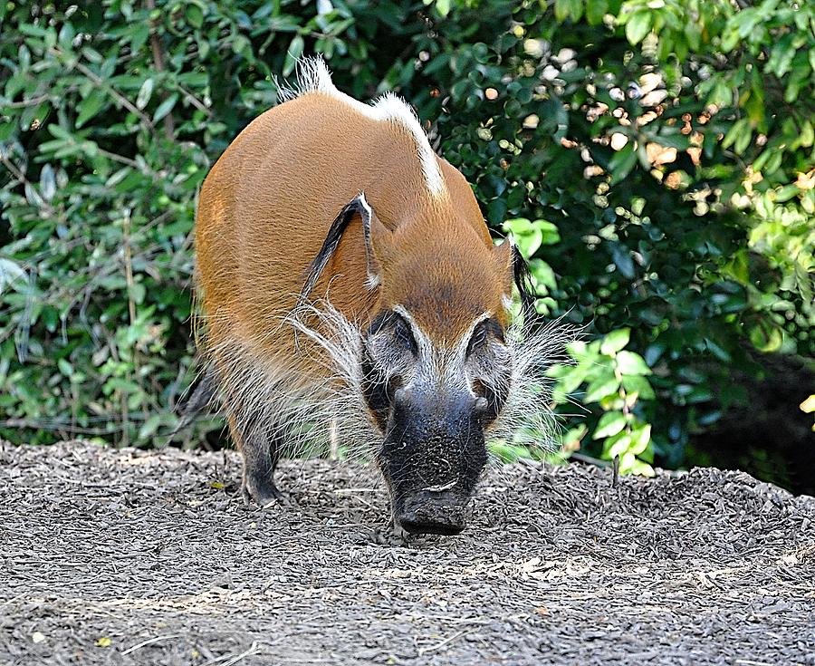 Animals Photograph - Wild Boar by Jan Amiss Photography