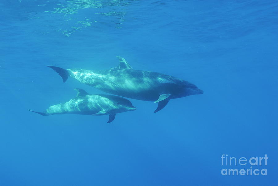 Sun Photograph - Wild Bottle-nosed Dolphin Mother And Calf by Sami Sarkis
